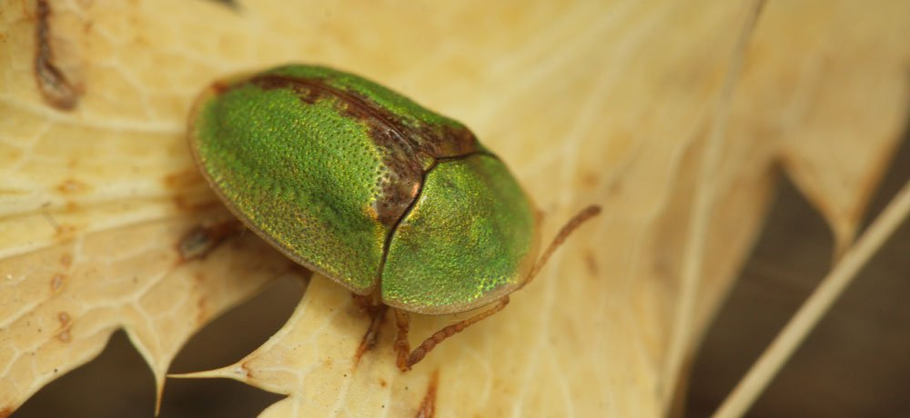 Beetle mania: This critter's extra large sex organ could